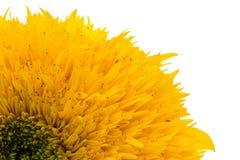 在白色背景的大丁草花隔绝的一部分 免版税图库摄影