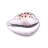 在白色背景的大美丽的贝壳 免版税库存图片