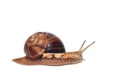 在白色背景的大蜗牛 库存图片