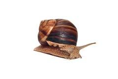 在白色背景的大蜗牛 图库摄影
