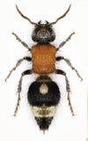 在白色背景的天鹅绒蚂蚁Nemka 免版税图库摄影