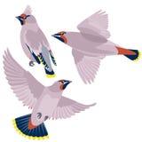在白色背景的太平鸟 库存照片