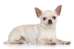 在白色背景的奇瓦瓦狗 免版税图库摄影