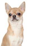 在白色背景的奇瓦瓦狗 库存图片