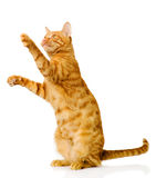 在白色背景的嬉戏的滑稽的小猫 库存图片
