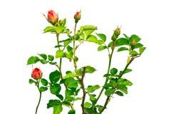 在白色背景的孤立玫瑰色花 免版税图库摄影