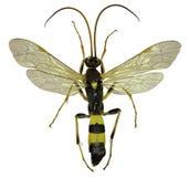 在白色背景的寄生黄蜂Amblyteles 免版税库存照片