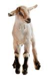 在白色背景的小山羊 免版税库存图片