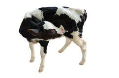 在白色背景的小母牛,被隔绝 免版税库存照片