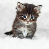 在白色背景的小灰色缅因浣熊小猫 免版税库存照片