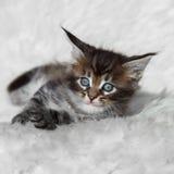 在白色背景的小灰色缅因浣熊小猫 免版税库存图片