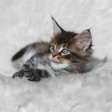 在白色背景的小灰色缅因浣熊小猫 库存照片