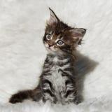在白色背景的小灰色缅因浣熊小猫 库存图片
