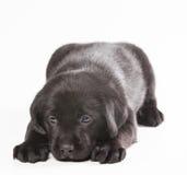 在白色背景的小狗拉布拉多 库存照片