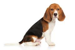 在白色背景的小猎犬小狗 免版税库存照片