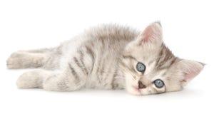 在白色背景的小猫 免版税库存照片