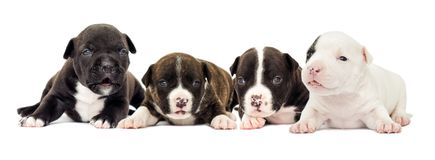 在白色背景的小的小狗 免版税库存图片