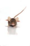 在白色背景的小的棕色老鼠 免版税图库摄影