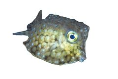 在白色背景的少年黄色硬鳞鱼 免版税库存照片