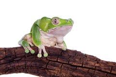 在白色背景的巨型叶子青蛙 库存照片