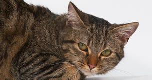 在白色背景的布朗平纹家猫, 股票录像