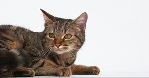在白色背景的布朗平纹家猫 股票录像