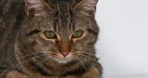 在白色背景的布朗平纹家猫 影视素材