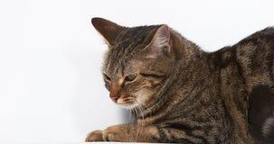在白色背景的布朗平纹家猫 股票视频