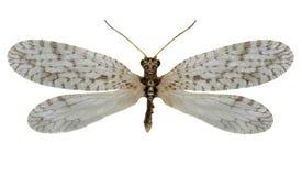在白色背景的布朗草蜻蛉Micromus 免版税库存照片
