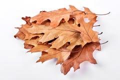在白色背景的干燥槭树叶子 免版税库存照片