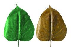 在白色背景的干燥Bodhi叶子 免版税库存图片