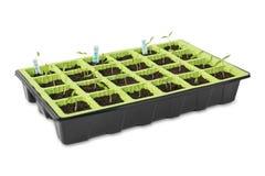 在白色背景的年轻蕃茄幼木 免版税库存照片