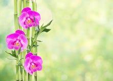 在白色背景的幸运的竹子和三朵兰花花 免版税图库摄影