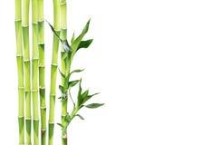 在白色背景的幸运的竹子 图库摄影