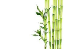 在白色背景的幸运的竹子 库存照片
