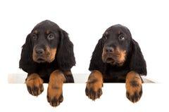 在白色背景的幼小哥顿安装员小狗 免版税库存图片