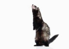 在白色背景的幼小白鼬 免版税库存图片