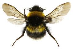 在白色背景的庭院土蜂 免版税库存照片