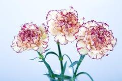 在白色背景的康乃馨花 免版税库存图片