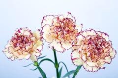 在白色背景的康乃馨花 免版税库存照片