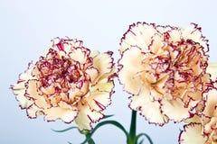 在白色背景的康乃馨花 库存图片