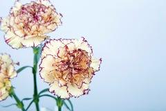 在白色背景的康乃馨花 库存照片