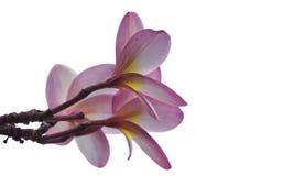 在白色背景的开花桃红色花软的焦点 库存照片