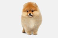 在白色背景的微型Pomeranian波美丝毛狗小狗 库存照片