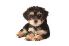在白色背景的微小的微型茶杯Yorkie小狗 免版税库存照片