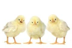 在白色背景的恼怒的婴孩小鸡 免版税库存照片