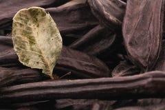 在白色背景的成熟角豆树 库存图片