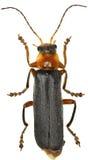 在白色背景的战士甲虫 库存图片