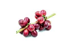 在白色背景的新鲜的成熟红色咖啡豆 库存照片