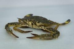 在白色背景的新鲜的未加工的螃蟹海鲜 免版税库存图片